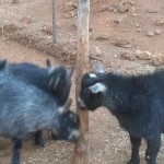 Housesit Petsit with pygmy goats in Auburn, CA