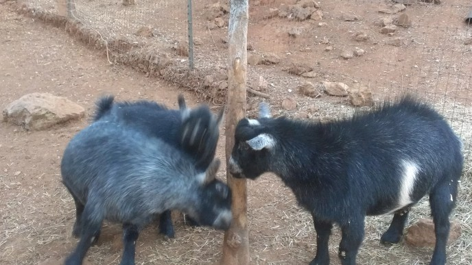 Housesit Petsit with pygmy goats in Auburn, CA