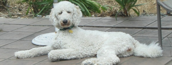 Housesit and Petsit for standard poodle in San Francisco Bay area
