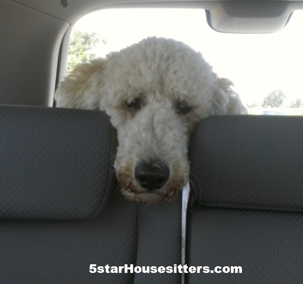 Standard poodle Bella travels to San Francisco with us as we housesit and petsit in San Francisco/Oakland area