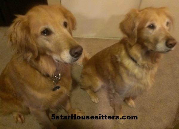 Housesitting and Petsitting Golden Retrievers in hoenix