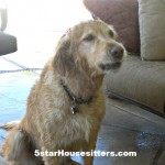 Housesitting and Petsitting Madison, the Golden Retriever, in Phoenis