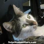 Housesitting and Petsitting domestic cat in Phoenix