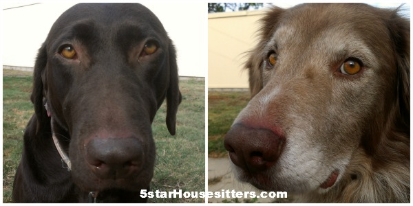 Extended stay pet care for husky mix and chocolate lab in southern California