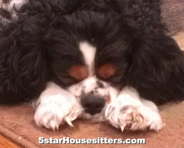 Housesit and petsit King Charles spaniel near Santa Monica, CA
