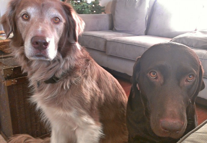 Extended stay pet care with husky mix and chocolate lab retriever in southern California