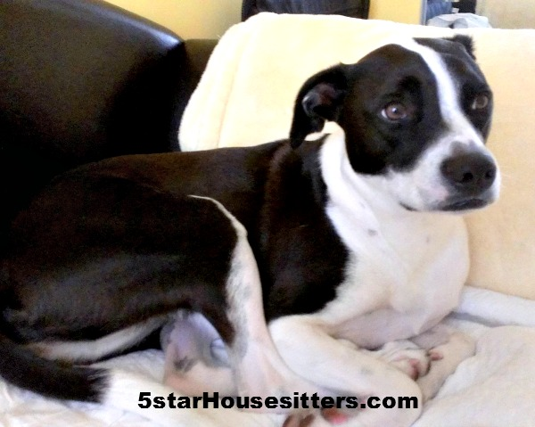 Housesit and Petsit for pit bull mix in San Diego