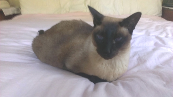 Hospice cat care in Cape Code for a Siamese