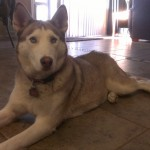 In your home dog boarding alternative to dog kennels for a Husky