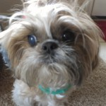 In your home dog boarding alternative for a sweet shih tzu
