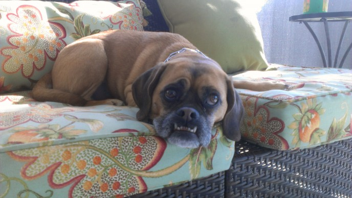 Pet sitting as a dog boarding alternative for two puggles in southwest Florida