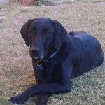 Shadow the black lab is very satisfied with in her home dog boarding alternative to the dog kennel!