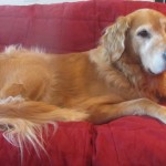 Pet sitting a golden retriever and maltipoo as a dog kennel alternative in southwest Florida