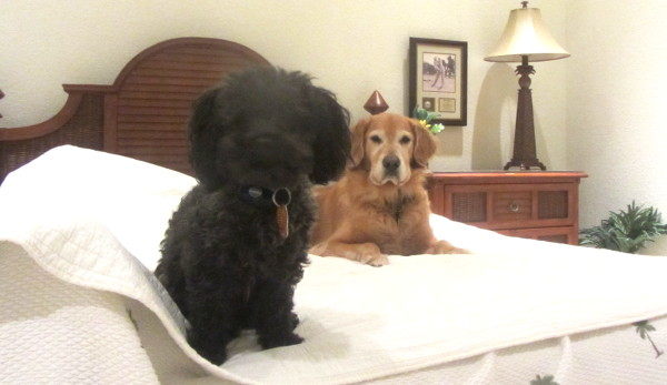 Pet sitting for a golden retriever and maltipoo in southwest Florida as a dog boarding alternative
