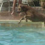 In home pet sitting as a dog boarding alternative for Marley, a golden doodle in Florida