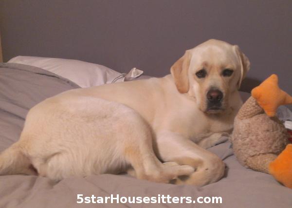 in home dog sitting as dog boarding alternative with English lab, Duke