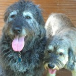 Housesitting and dogs sitting for labradoodle and cockapoo mix in North Carolina
