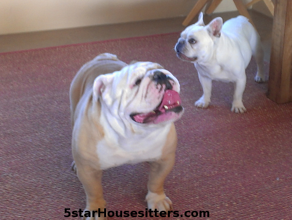 Santa Fe dog sitting with English bulldog