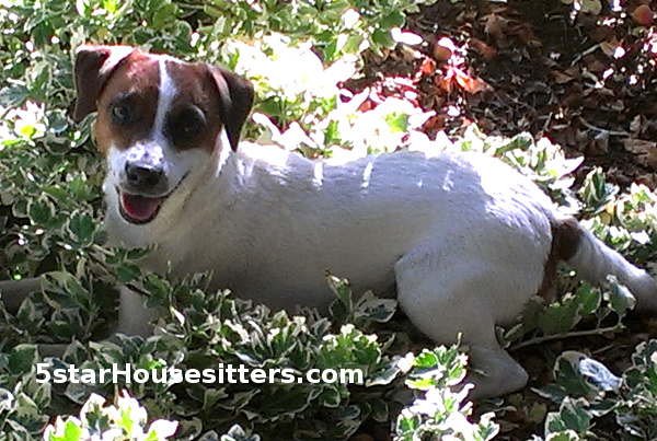Dog Sitting Parson Russell Terriers (Jack Russell Terriers) in Santa Fe
