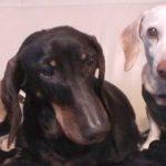Dogsitting Dachshunds