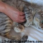 Sedona Cat Care for Silver Bengal Belly Rubs