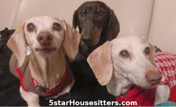 Dogsitting_Senior_Wiener_Dogs_in_California