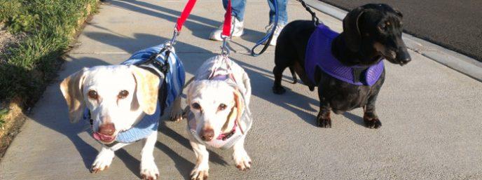 Dog sitting senior wiener dogs on a walk