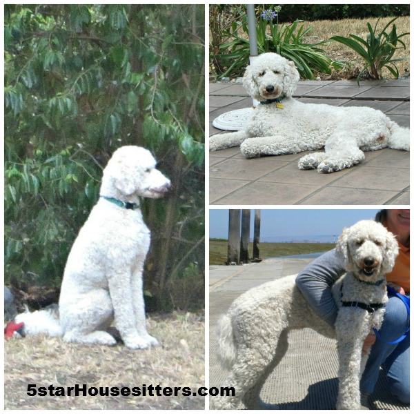 Housesitting and petsitting in Oakland/San Francisco area with beautiful standard poodle Bella
