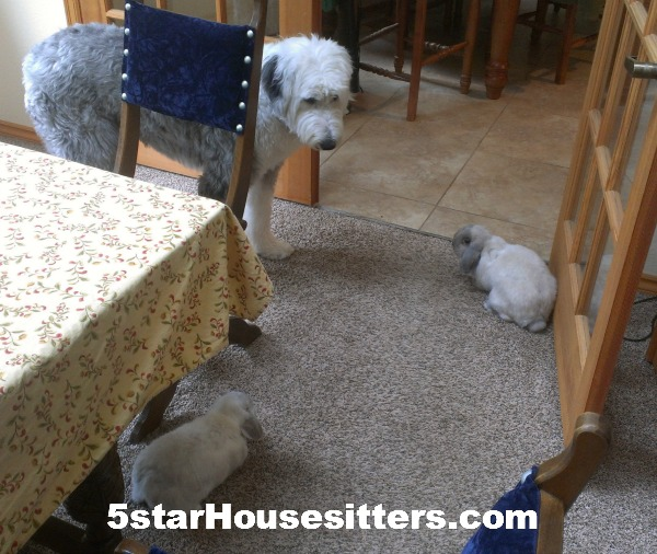Housesit petsit in Seattle, WA with two rabbits and a sheep dog