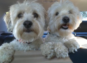 Housesitting and petsitting with our two Havanese in Port Townsend, WA