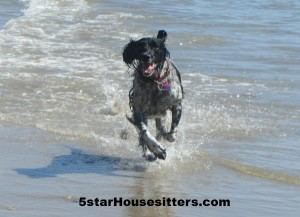 Housesit and Petsit for Quila, a Field Spaniel, in Santa Barbara