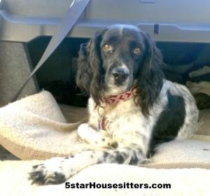 Housesitting and petsitting Quila, the field spaniel, in Santa Barbara