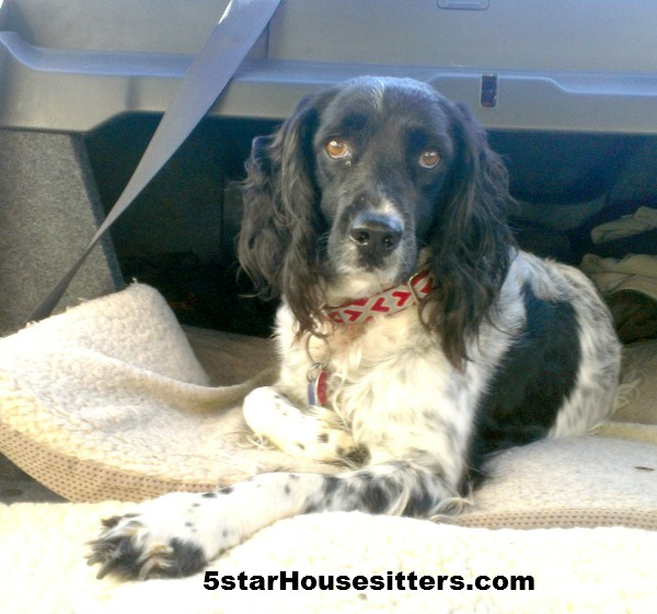 Housesitting and petsitting Quila, the field spaniel, in Santa Barbara