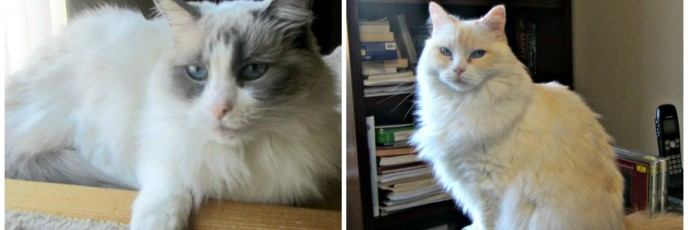 Housesitting and petsitting with two rag doll cats in Colorado