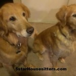 Housesitting and Petsitting Golden Retrievers in hoenix