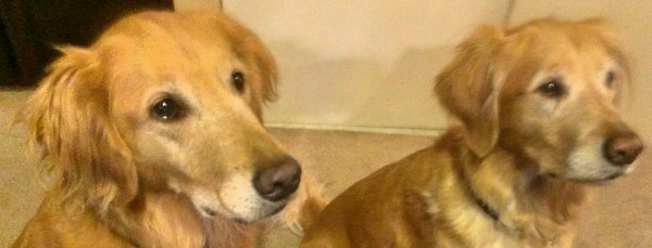 Housesit and Petsit golden retrievers in Phoenix