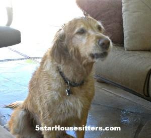 Housesitting and Petsitting Madison, the Golden Retriever, in Phoenis