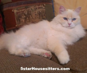 Housesit and petsit for Toby a beautiful rag doll in Colorado