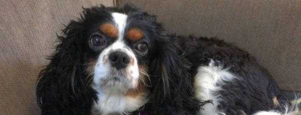 Housesit and pet sit for King Charles spaniel near Santa Monica
