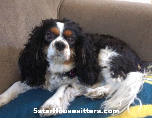 Housesit and petsit King Charles spaniel in Southern California
