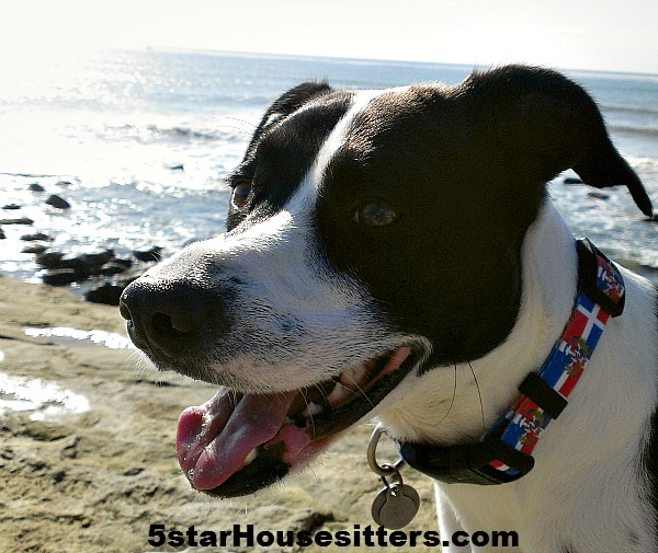 House sit and pet sit in San Diego with pit bull mix