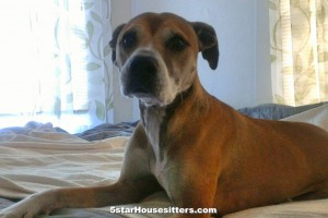 Extended stay care housesit and petsit for pit bull boxer mix in Southern California