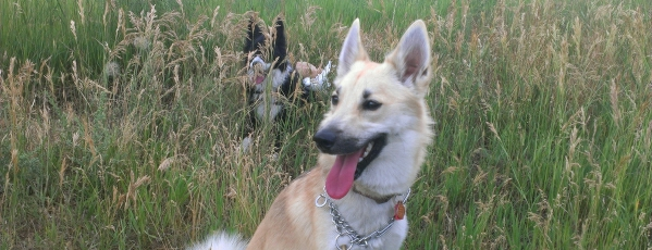 Housesitting petsitting Norbottenspets in Golden, Colorado