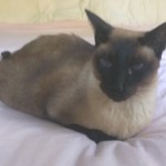 Hospice cat care in Cape Code for a Siamese