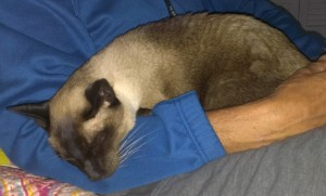 Hospice cat care in Cape Code with a Siamese
