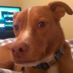 In your home dog boarding alternative for a pit bull mis