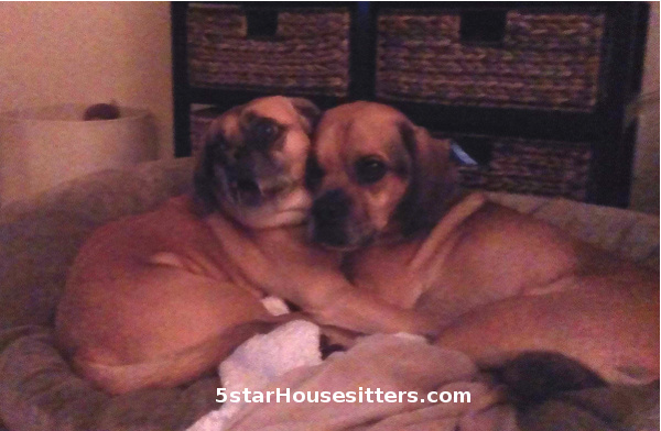 Puggles enjoying pet sitters as a dog boarding alternative