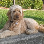 In home pet sitting for a Florida golden doodle as an alternative to dog boarding