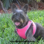 in home pet sitting as a dog boarding alternative for cairn terrier mix