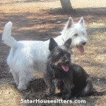 Dog boarding alternative for Westie and cairn terrier mix was in home pet sitting